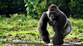 Gorillas Photo Download#1