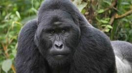 Gorillas Photo Free