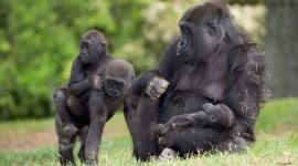 Gorillas Photo Free#1