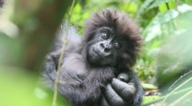 Gorillas Photo Free#2