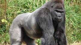 Gorillas Photo#1