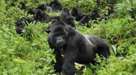 Gorillas Wallpaper 1080p