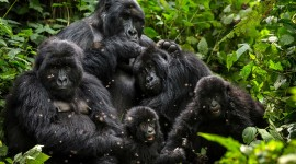 Gorillas Wallpaper 1080p#2