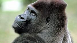 Gorillas Wallpaper Download