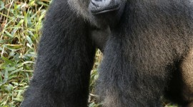 Gorillas Wallpaper For Android