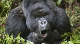 Gorillas Wallpaper For Desktop