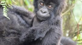 Gorillas Wallpaper For IPhone