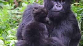 Gorillas Wallpaper For IPhone Download