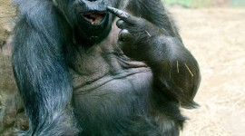 Gorillas Wallpaper For IPhone Free
