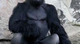 Gorillas Wallpaper For Mobile