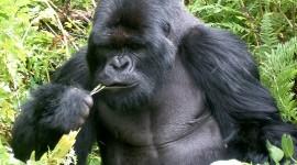 Gorillas Wallpaper For PC