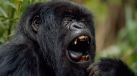 Gorillas Wallpaper Free
