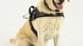 Guide-Dog Wallpaper For IPhone Download