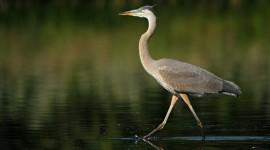 Heron Photo Free