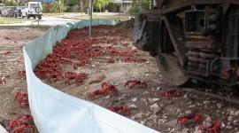 Migration Of Red Crabs In Australia Best Wallpaper