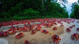 Migration Of Red Crabs In Australia Desktop Wallpaper