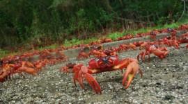 Migration Of Red Crabs In Australia Desktop Wallpaper For PC