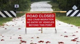 Migration Of Red Crabs In Australia Desktop Wallpaper HD