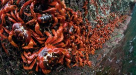 Migration Of Red Crabs In Australia Wallpaper 1080p