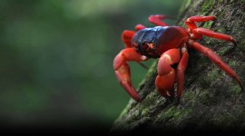 Migration Of Red Crabs In Australia Wallpaper Background