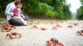 Migration Of Red Crabs In Australia Wallpaper Download