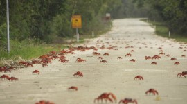 Migration Of Red Crabs In Australia Wallpaper Download Free