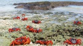 Migration Of Red Crabs In Australia Wallpaper For Desktop