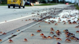Migration Of Red Crabs In Australia Wallpaper For PC