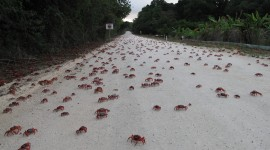Migration Of Red Crabs In Australia Wallpaper Full HD