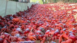 Migration Of Red Crabs In Australia Wallpaper High Definition