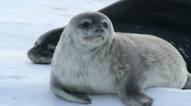 Seal Wallpaper Download Free