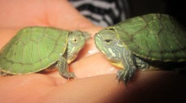 Small Turtles Photo Free#2