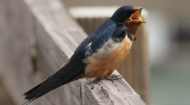 Swallow Photo
