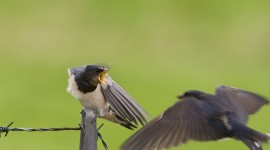 Swallow Photo Download