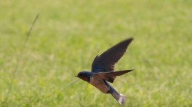 Swallow Photo Download#1