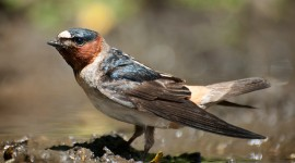 Swallow Photo Free