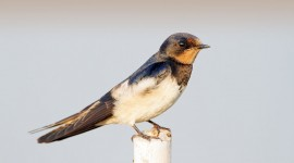 Swallow Wallpaper Download