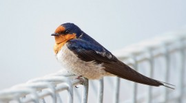 Swallow Wallpaper Download Free
