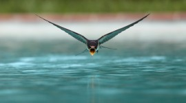 Swallow Wallpaper Gallery