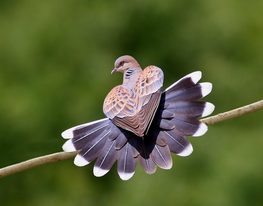 Turtledove wallpapers HD