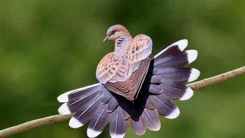 Turtledove wallpapers high quality