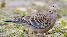 Turtledove Desktop Wallpaper For PC