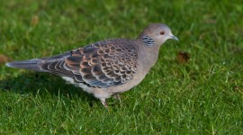 Turtledove Desktop Wallpaper HD