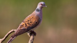 Turtledove Photo Download