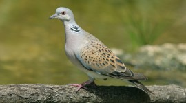 Turtledove Wallpaper Download