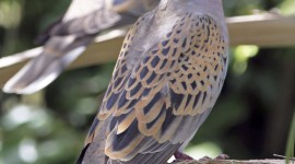 Turtledove Wallpaper For IPhone
