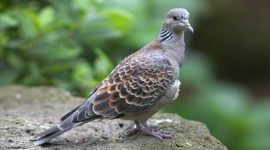 Turtledove Wallpaper For PC