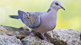 Turtledove Wallpaper Free