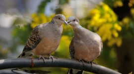 Turtledove Wallpaper Gallery