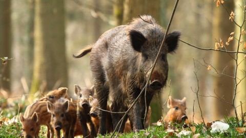 Wild Boar wallpapers high quality